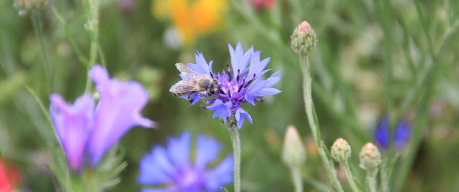 Biene auf Wiese