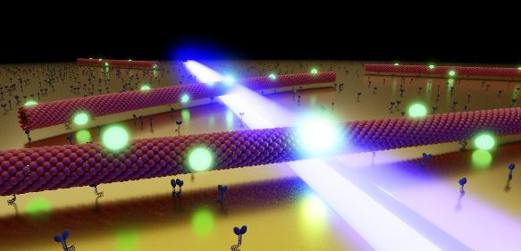 Mikrotubuli gleiten durch das optische Nahfeld (blau) einer nanostrukturierten Goldoberfläche. Die an ihnen befestigten Quantenpunkte (grün) reagieren auf das lokale Feld, indem sie verstärkt fluoreszieren. (Bild: JMU, Heiko Groß)