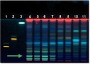 Chromatographie: Identifizierung von Schachtelhalmkraut