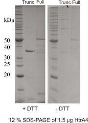 Rekombinante humane Serinprotease HtrA4: Rekombinante humane Serinprotease HtrA4