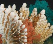 Auch Korallenriffe sind von der Veränderung der globalen Temperaturen betroffen. Hier: Kaltwasserkorallen in einem Riff in Norwegen (Bild: JAGO-Team GEOMAR (CC BY 4.0))