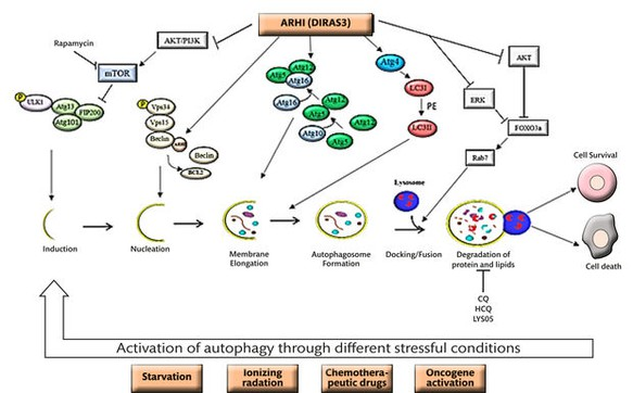 Inhibition or Enhancement?: Autophagy and Cancer  Chemotherapy