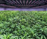 Produktionshalle für medizinische Cannabis-Pflanzen