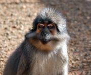 Immunologie: Warum infizierte Affen kein AIDS entwickeln