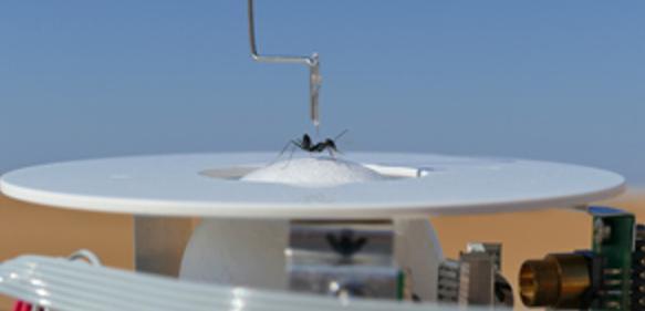 Wüstenameise auf der Laufkugelapparatur. (Foto: Matthias Wittlinger)