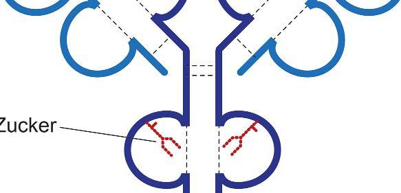 Antikörper sind Y-förmig gebaute Moleküle. Zuckerstrukturen (rot), die an das Antikörperprotein gekoppelt sind, spielen eine wichtige Rolle für die Funktion von Antikörpern. Das Vorhandensein von Sialinsäure an dem Zucker führt dazu, dass Antikörper weniger stark ihre Zielzellen angreifen und zerstören. (Bild: UZH)