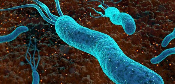 Helicobacter-Bakterien