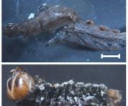 Baumwollwurm Spodoptera littoralis