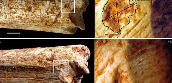An beiden Enden des Oberschenkelknochens eines 500000 Jahre alten Homininen aus Marokko befinden sich Beißspuren, die von Fleischfressern stammen, wahrscheinlich von Hyänen. (© MPI f. evolutionäre Anthropologie)
