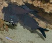 Blitzlichtfisch