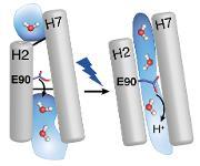 Arbeitsweise des Proteins Channelrhodopsin-2 entschlüsselt: Forscher verfolgen das Öffnen des Ionenkanals mit biophysikalischen Methoden
