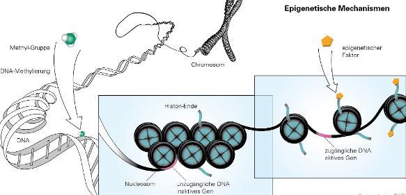 Epigenetik: Mütterliche Ernährung beeinflusst Stoffwechsel der Nachkommen