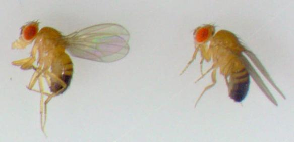 Drosophila-Fliegen