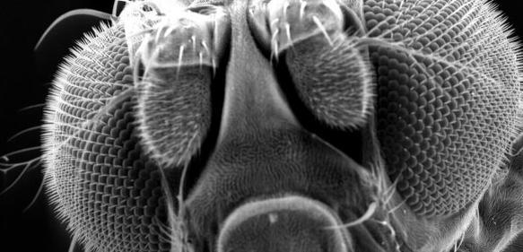 Rasterelektronenmikroskopische Aufnahme einer Drosophila melanogaster (Taufliege)