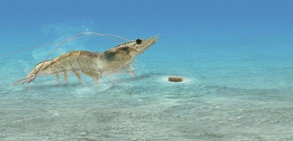 Garnelenfutter: AQUAVI® Met-Met trägt zu einer hocheffizienten und nachhaltigen Ernährung von Garnelen in Aquakulturen bei. Es  minimiert den Verbrauch an Fischmehl im Futter und entlastet die Gewässer. Im Bild (Montage): eine Whiteleg-Garnele (Litopenaeus vannamei) vor einem Futterpellet.