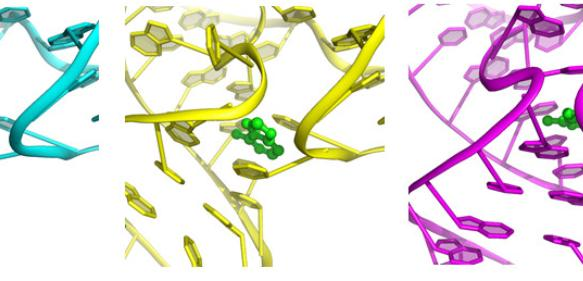 Der Riboswitch-'Knopf' vor, während und nach (von links) dem Andocken des Signalmoleküls (grün). (Bild: Yun-Xing Wang und Jason Stagno, National Cancer Institute)