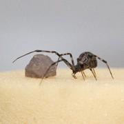 Forscher entschlüsseln Gene der Gewächshausspinne: Benötigen Spinnen zusätzliche Gene für ihre Netze?