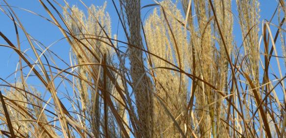 Gras oder Stroh: Hieraus sollen Zwischenprodukte für den erdölbasierten Raffinerieprozess entstehen. (© Foto: Fraunhofer UMSICHT / Volker Heil)