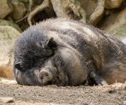 fettleibiges Hängebauchschwein