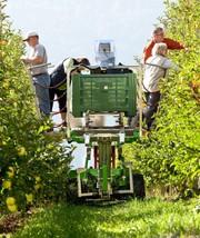 Mobile Arbeitsbühnen erleichtern die Obsternte: Den Apfel vor Augen