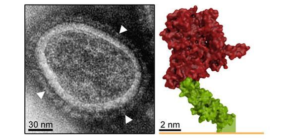 Links: EM-Aufnahme der Genfähre mit Hüllproteinen (Pfeile). Rechts: Struktur eines Oberflächenrezeptors (Her2/neu). Bindung der Genfähre im grünen Bereich ermöglicht Membranfusion und Gentransfer. (Quelle: Bender RR et al.: PLOS Pathog. 09. Juni 2016 und PEI)