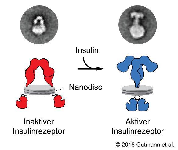 Reorganisation des Rezeptors nach Bindung eines Insulin-Moleküls