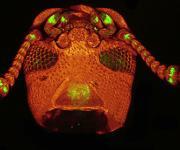 Neben den Antennen enthalten auch die Mundtaster des Reismehlkäfers zahlreiche Nervenzellen (grün gefärbt), die der Wahrnehmung chemischer Signale dienen. (Aufnahme: Philipps-Universität Marburg / AG Schachtner)