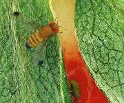 Kirschessigfliege (Drosophila suzukii)