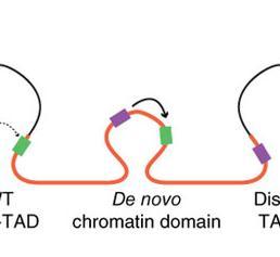 Das Gen IGF2 (grün) wird im DNA-Strang dupliziert (verdoppelte Region: orange). Dadurch entsteht eine neue dreidimensionale Struktur, die das Krebsgen in die Nähe von Verstärkerelementen (lila) bringt. (Quelle: Hanno Glimm / Jan O. Korbel)