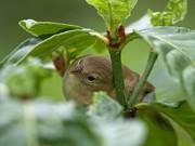 Parasitäre Fliege Philornis downsi im Verdacht: Darwin-Finken auf Galapagos vom Aussterben bedroht