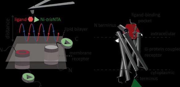 Ligand-Bindungsstellen