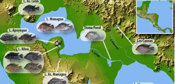 Karte zeigt die geografische Verteilung und morphologische Vielfalt der verschiedenen Midas-Buntbarscharten und Ökotypen, die den Nicaragua- und Managuasee sowie verschiedene Kraterseen bewohnen