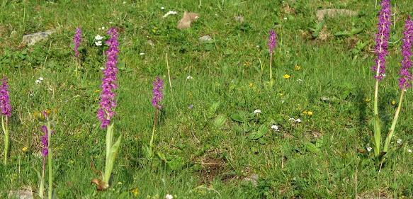 Artenreiche und wenig gedüngte Wiesen und Weiden sind in ganz Europa gefährdet, da sie zu wenig Ertrag abwerfen und daher kaum mehr einträglich bewirtschaftbar sind. Sie sind jedoch der Lebensraum vieler seltener Arten. Im Bild Orchideen auf einer Weide im Schneeberggebiet. (Copyright: Franz Essl)