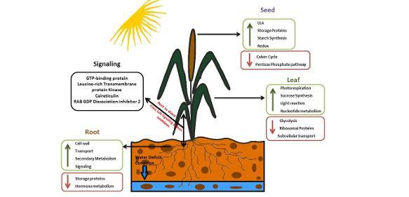Pflanzenzüchtung: Getreide, das der Dürre trotzt