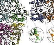 Atomare Details der zwei Enzyme FBPase and SBPase. (Quelle: Oliver Einsle/Universität Freiburg)