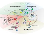 Zellregulation und Proteine: Schneller Nachweis unter physiologischen Bedingungen