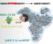 Das Protein RBM5 hilft, den Spleiß-Apparat zur Boten-RNA zu bringen, indem es an eines dieser Proteine bindet. Dadurch entscheidet RBM5, welche Isoform von Fas hergestellt wird. (Quelle: Helmholtz Zentrum München)