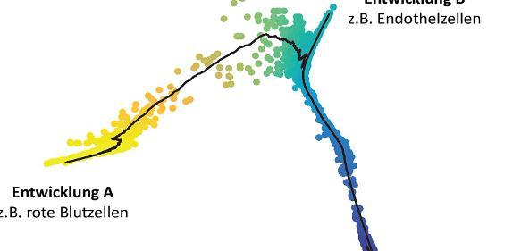 Entwicklung eines Verband von Blutstammzellen zu unterschiedlichen Zelltypen, Quelle: HMGU