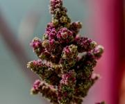 Quinoablüte