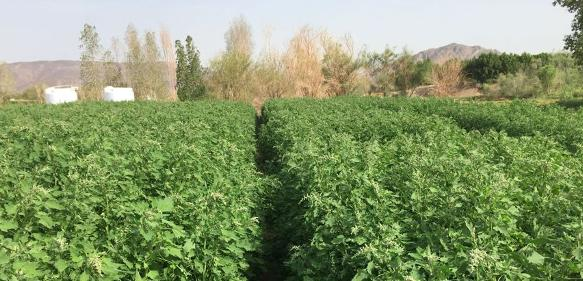 Quinoapflanzen