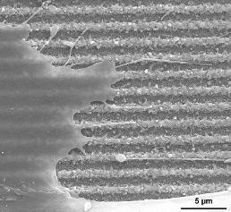 Herzmuskelzellen auf einem Aluminiumplättchen