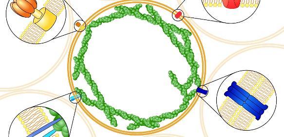 Schematische Darstellung lebender Schäume basierend auf funktionalen Riesenliposomen, die verschiedene Proteine zur Kommunikation und Anhebung untereinander sowie zur individuellen Kontraktion tragen. Riesenliposomen können einen Durchmesser von einem Zehntel Millimeter erreichen. (Grafik: Dr. Tabea Oswald)