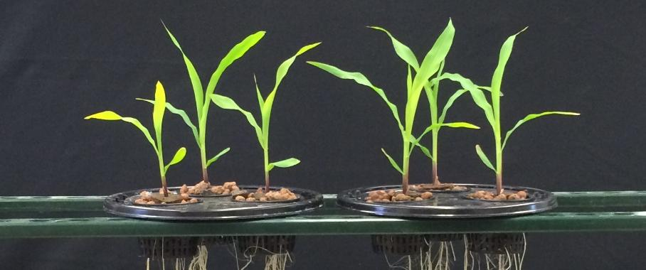 Die Versuchsergebnisse zeigen eine bessere Wurzelentwicklung bei der Behandlung mit Acceleron Seed Applied Solutions + Acceleron B-300 SAT (rechts) gegenüber einer Behandlung ausschließlich mit Acceleron Seed Applied Solutions.