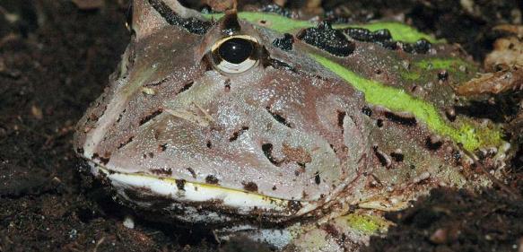 Schmuckhornfrosch