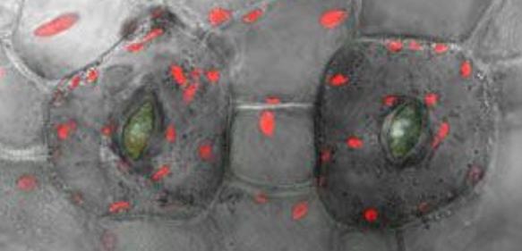 Physcomitrella-Zellen mit zwei Spaltöffnungen