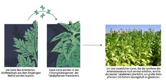 Neue Methoden der Pflanzenbiotechnologie könnten die kostengünstige Massenproduktion eines Malariamedikaments ermöglichen. Durch den Transfer von Genen des Einjährigen Beifuß in Tabak kann die natürlich vorkommende Artemisininsäure in großem Maßstab produziert werden. (© Fuentes et al., eLife)