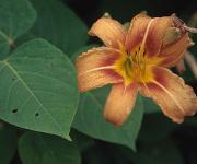 Die gerne in Gärten gepflanzte gelbrote Taglilie gilt in Mitteleuropa als eingebürgert und wurde über eine Entfernung von etwa 10000 km aus Ostasien importiert. (Copyright: Franz Essl)