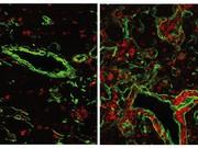 Reaktivierung eines sehr ursprünglichen Gens: Immunsystem um 500 Mio. Jahre zurückgedreht