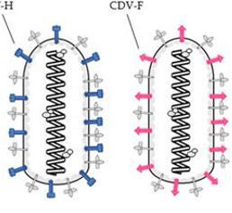 Tollwut-Virus