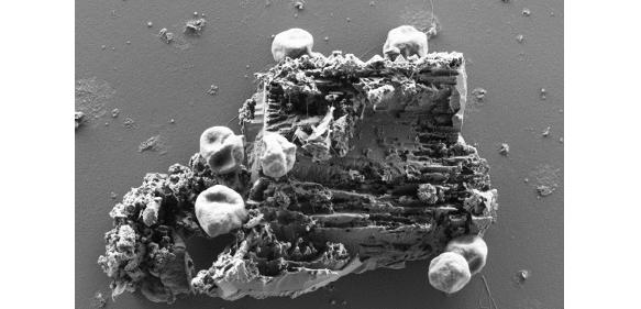 Sieben rundliche Zellen des Archaeums Pyrococcus furiosus heften an authentisches Martial eines schwarzen Rauchers mittels ihrer Flagellen an.